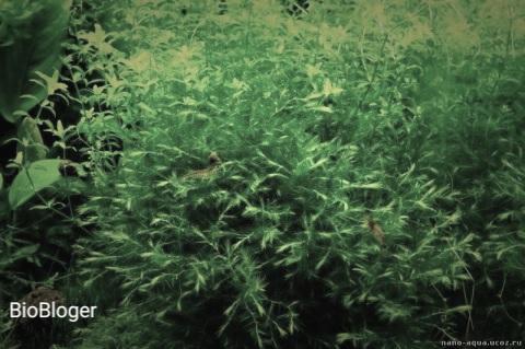 Фонтиналис или ключевой мох вашего аквариума