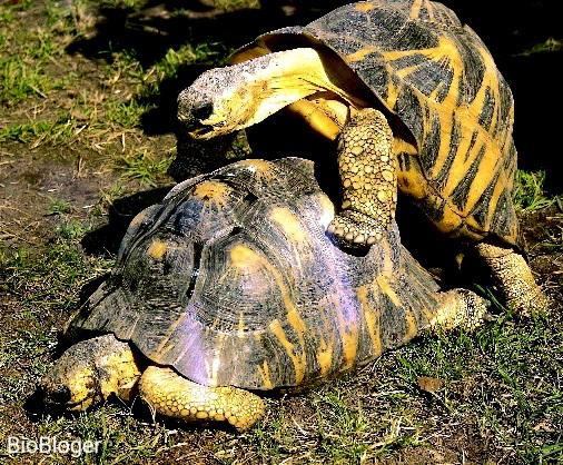 Размножение средиземноморских черепах