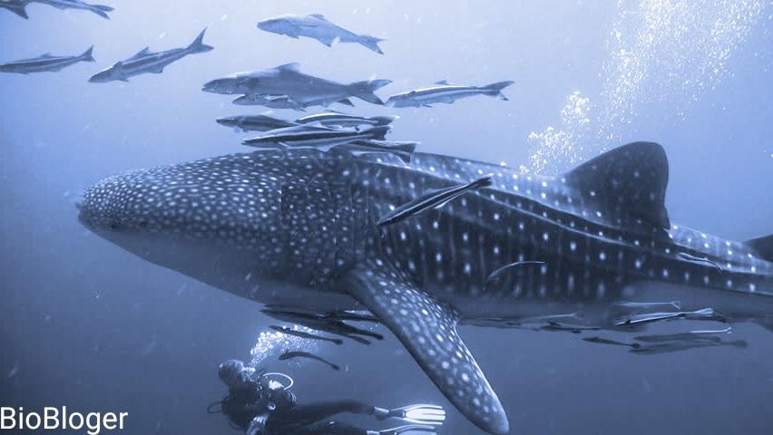 Интересные факты о Китовой акуле