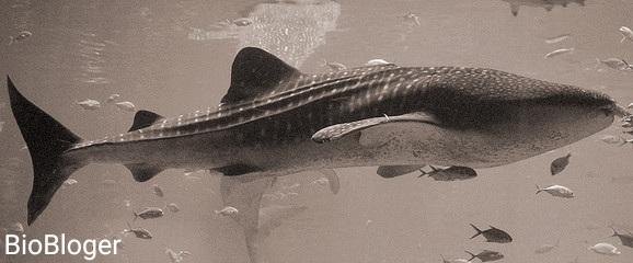 Китовая акула гигантский хищник мирового океана
