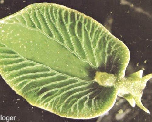Морской слизень единственное животное которое синтезирует кислород