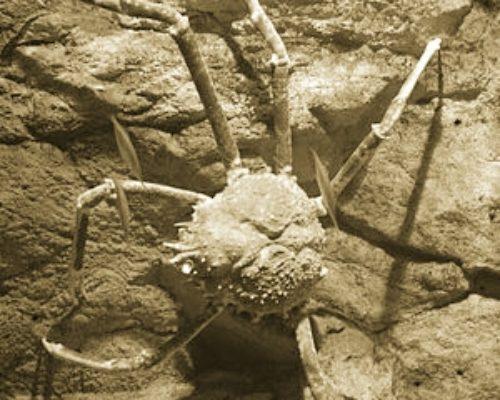 Японский Краб паук как тихоокеанский обитатель