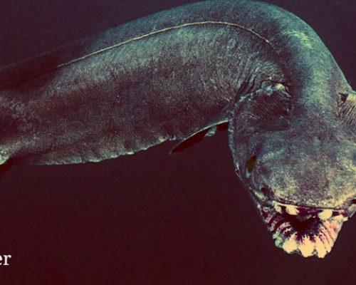Плащеносная акула как глубоководный обитатель океана