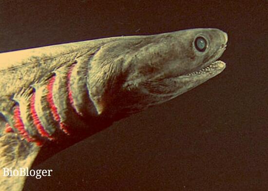 Акула плащеносец