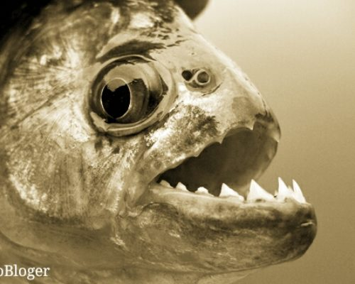 Пиранья обыкновенная как хищная рыба водоемов Южной Америки
