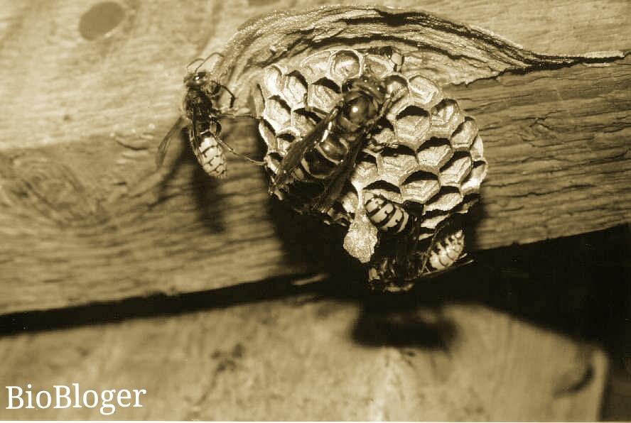 Опасность укуса шершня