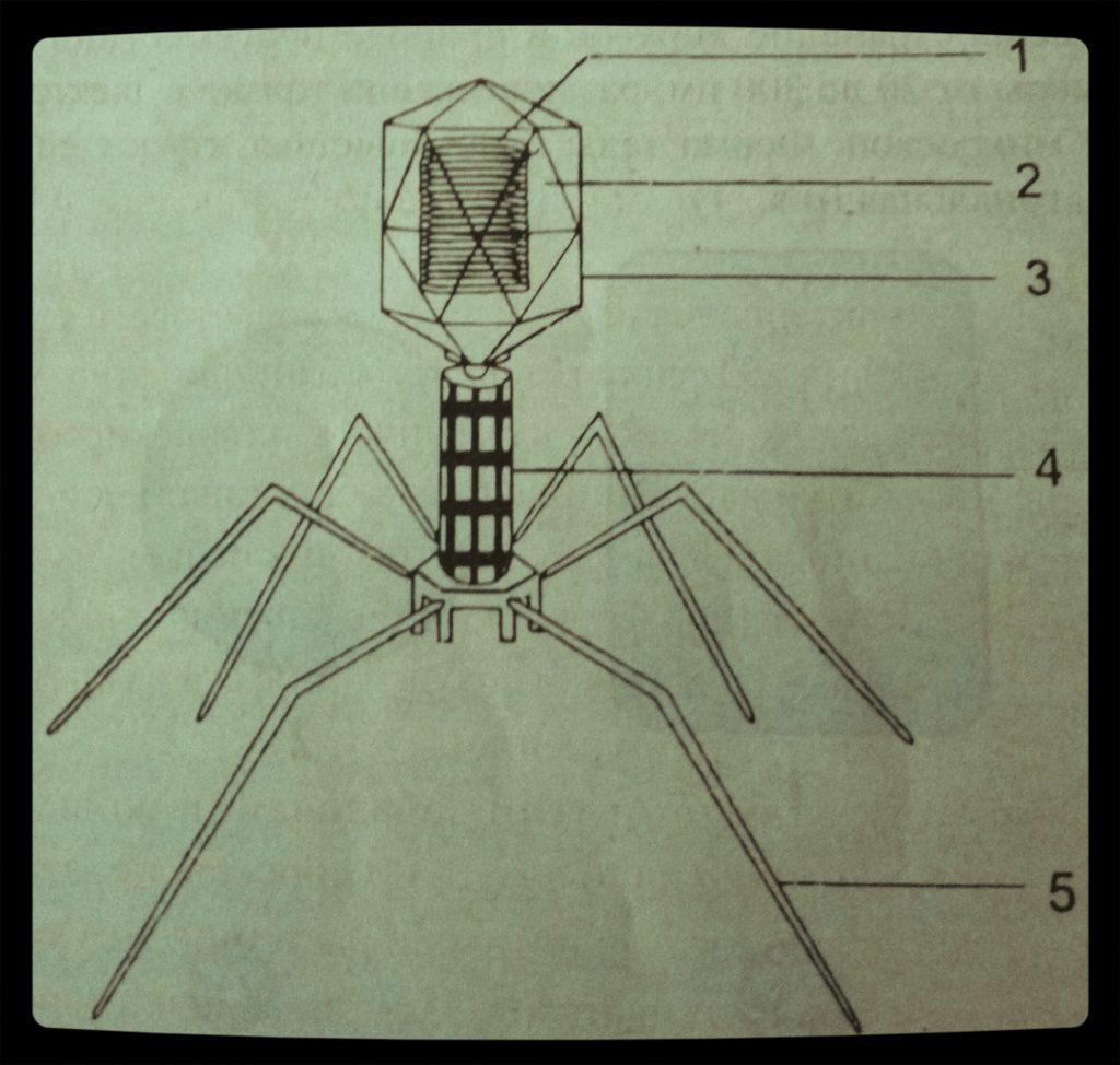 Строение бактериофага