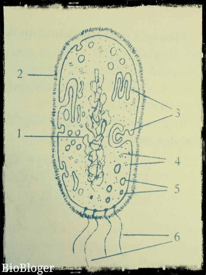 Схема строения бактериальной клетки