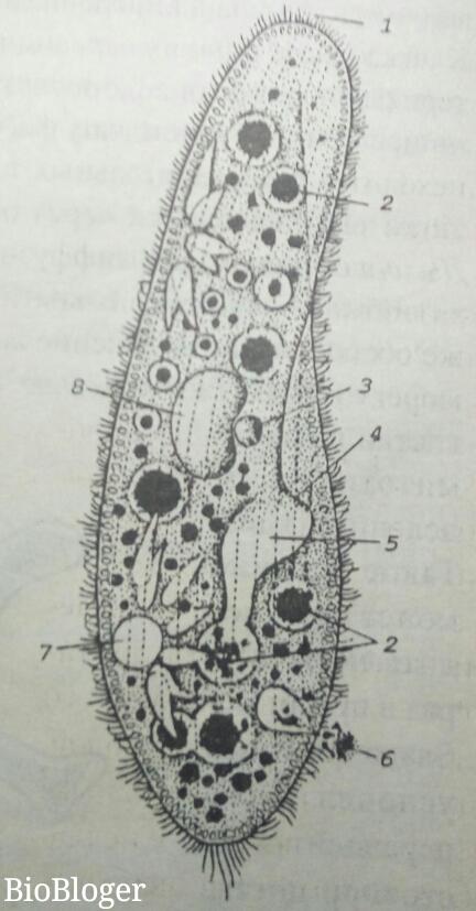 Схема строения инфузории-туфельки