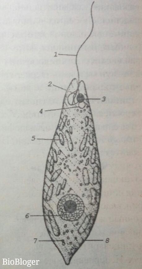 Схема строения эвглены