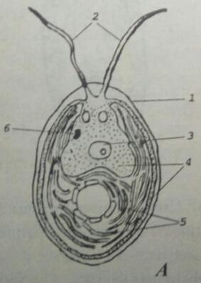 Схема строения хламидомонады