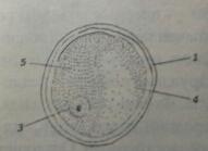 Схема строения хлорелы