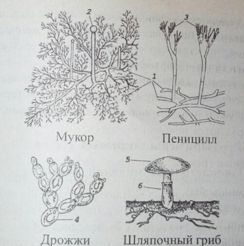 Схема строения грибов