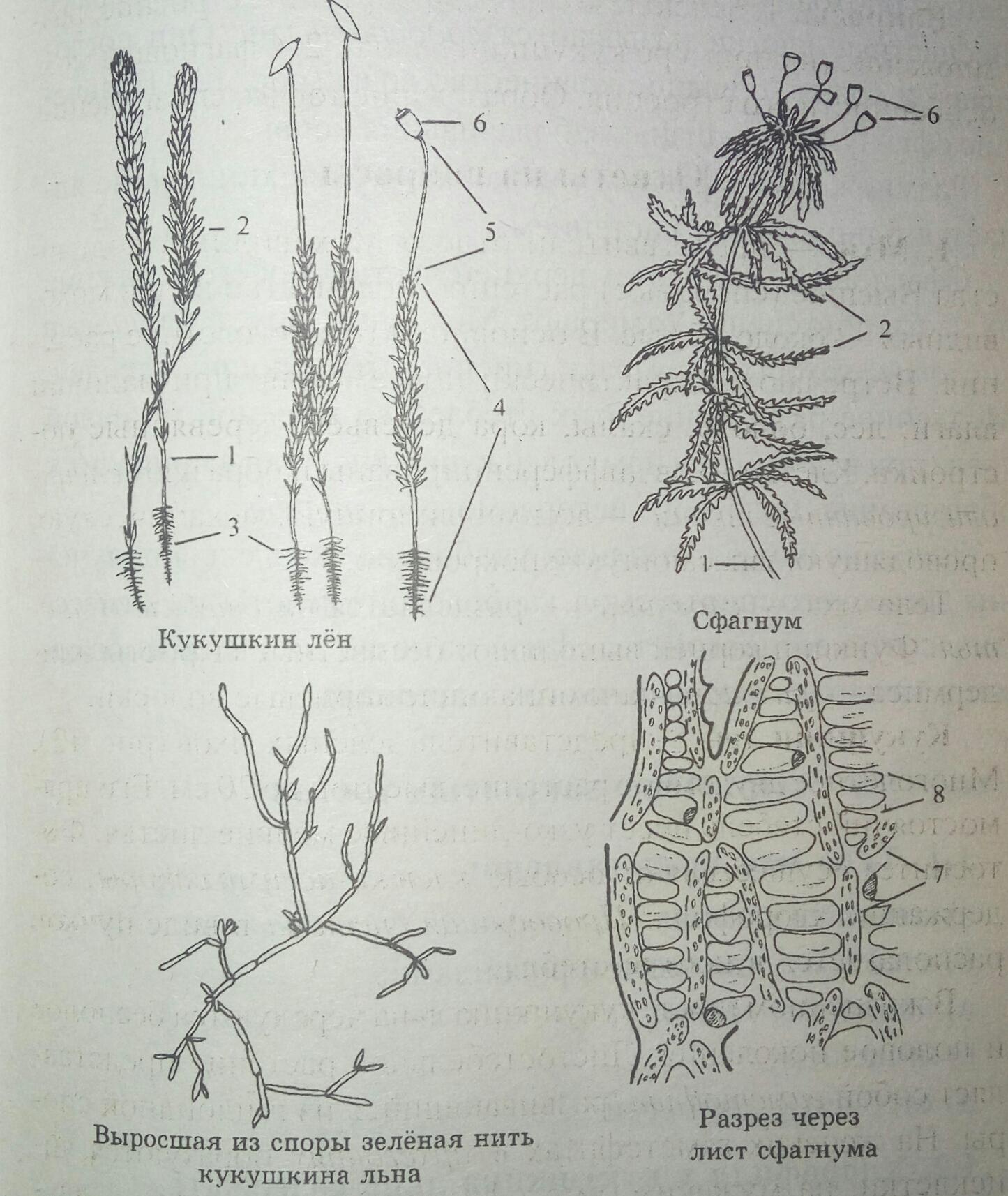 Схема строения мхов