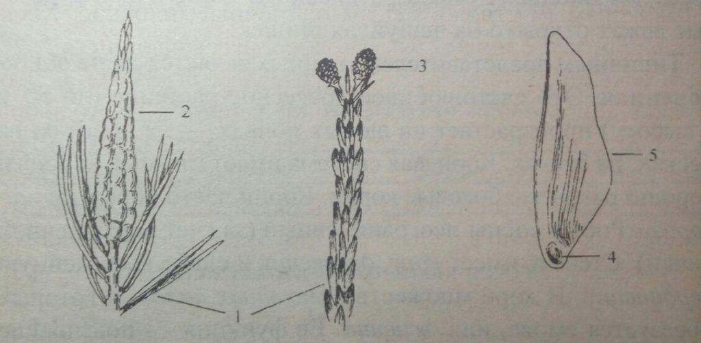 Схема строения шишек сосны