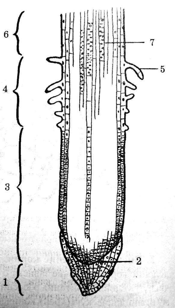 Схема внешнего и внутреннего строения корня