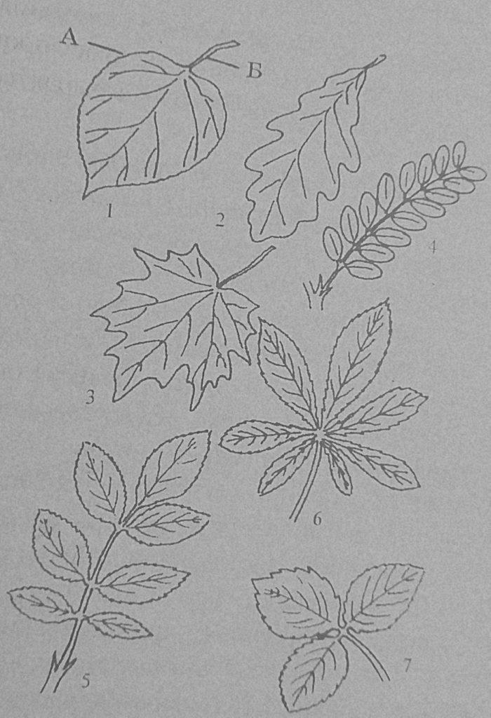 Формы простых и сложных листьев
