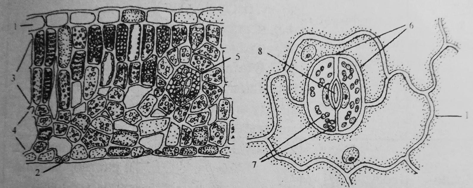 Схема внутреннего строения листа