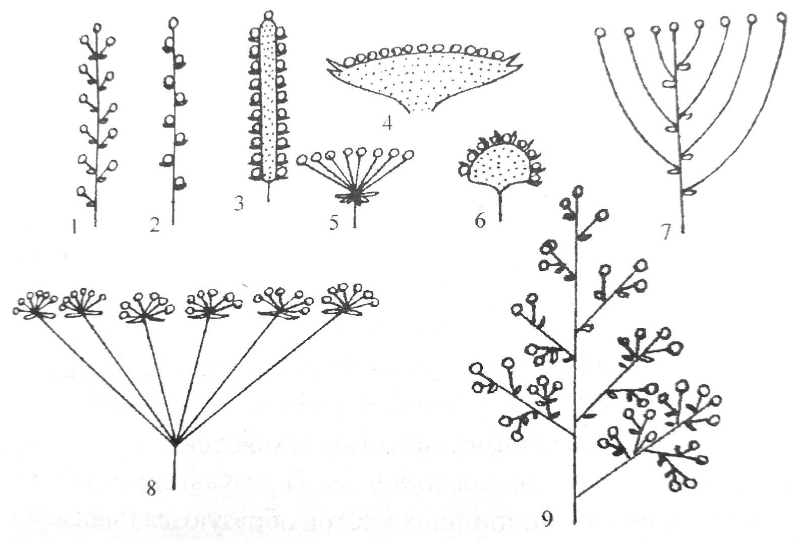 Типы соцветий покрытосеменных растений