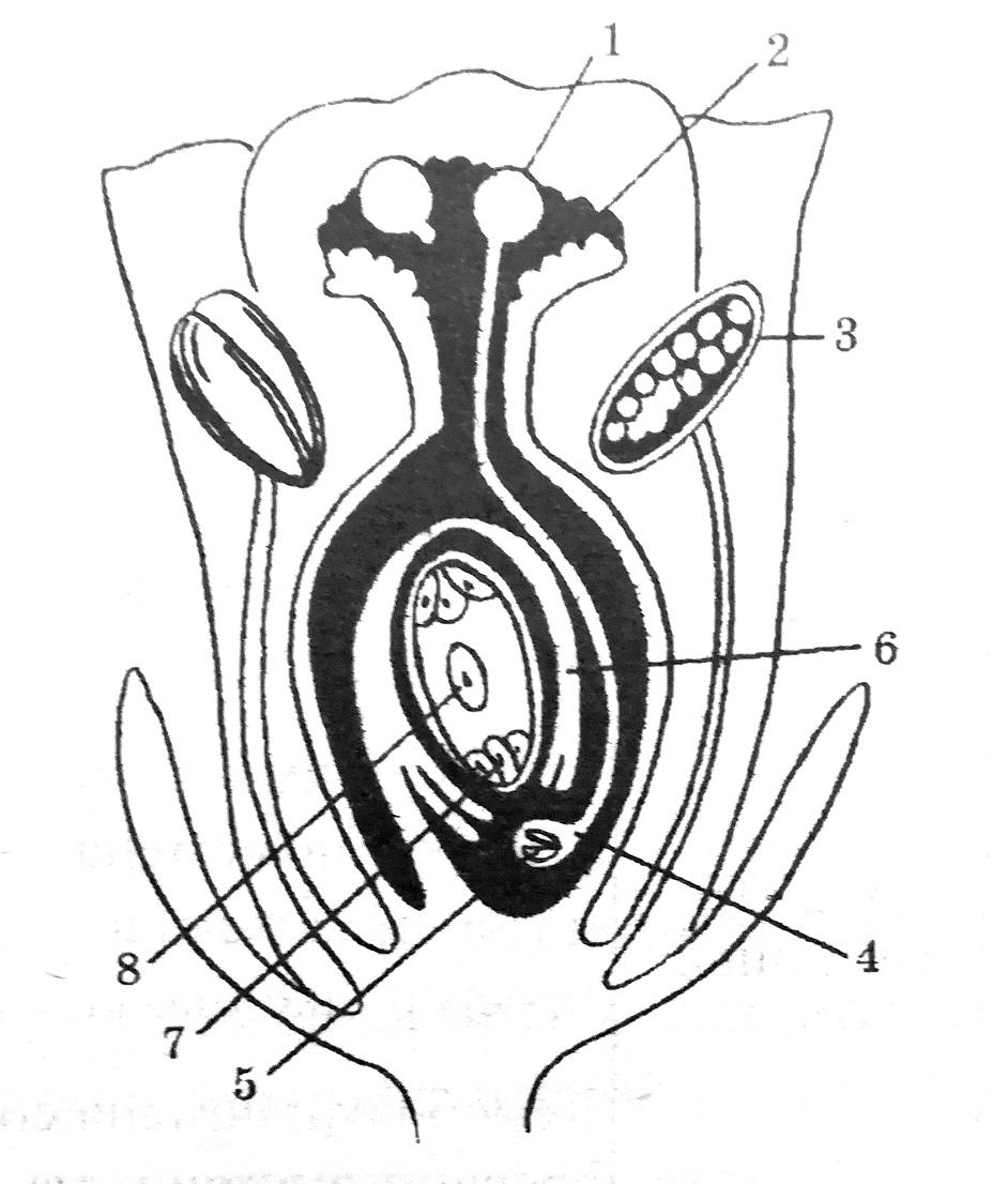 Схема двойного оплодотворения у цветковых растений