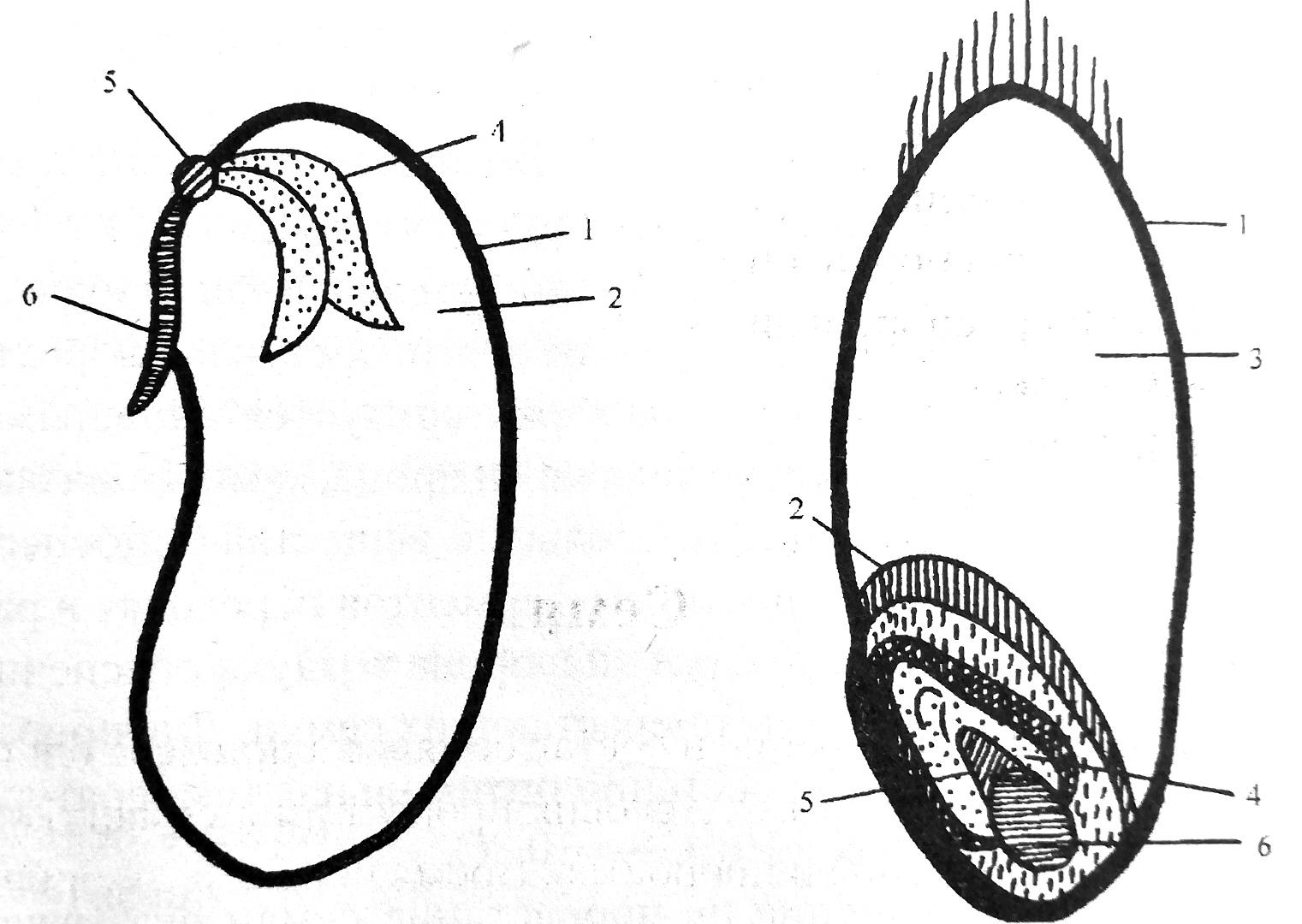 Схема строения семени