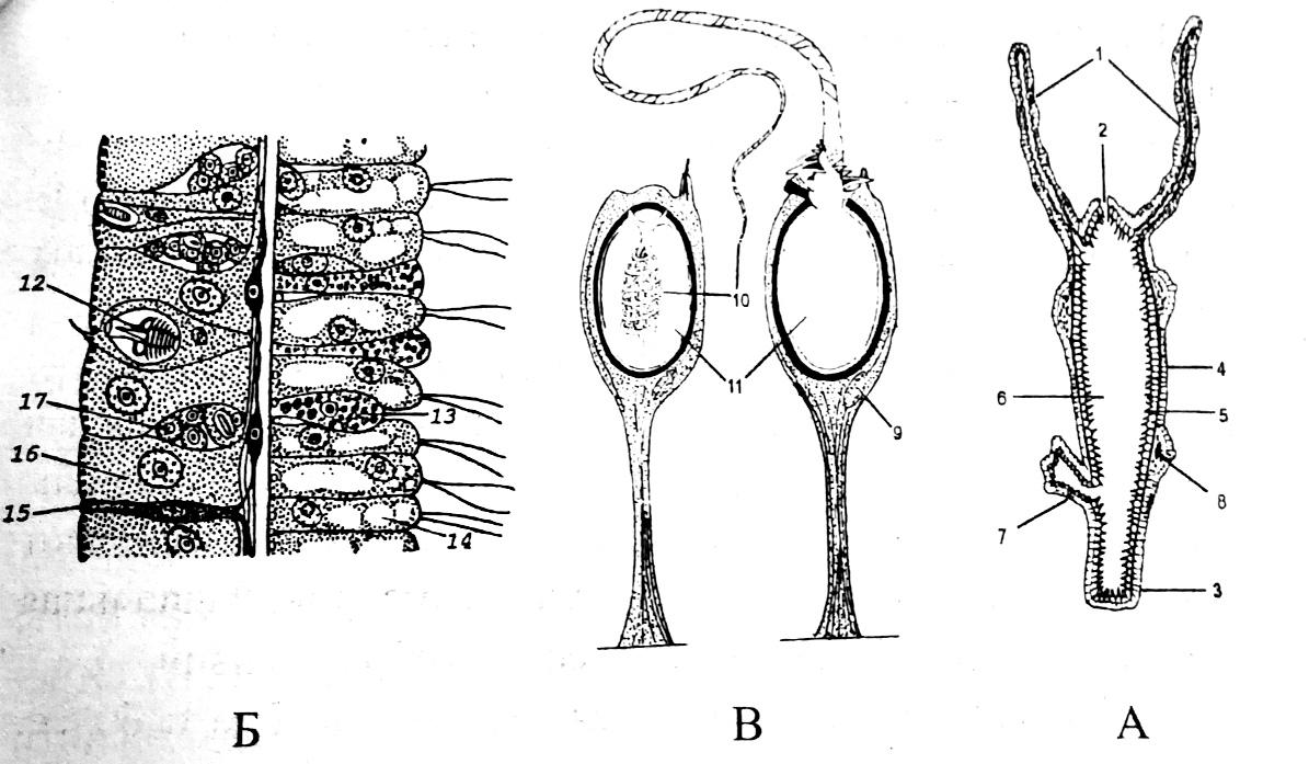 Схема строения гидры
