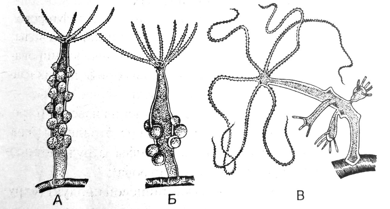 Размножение гидры
