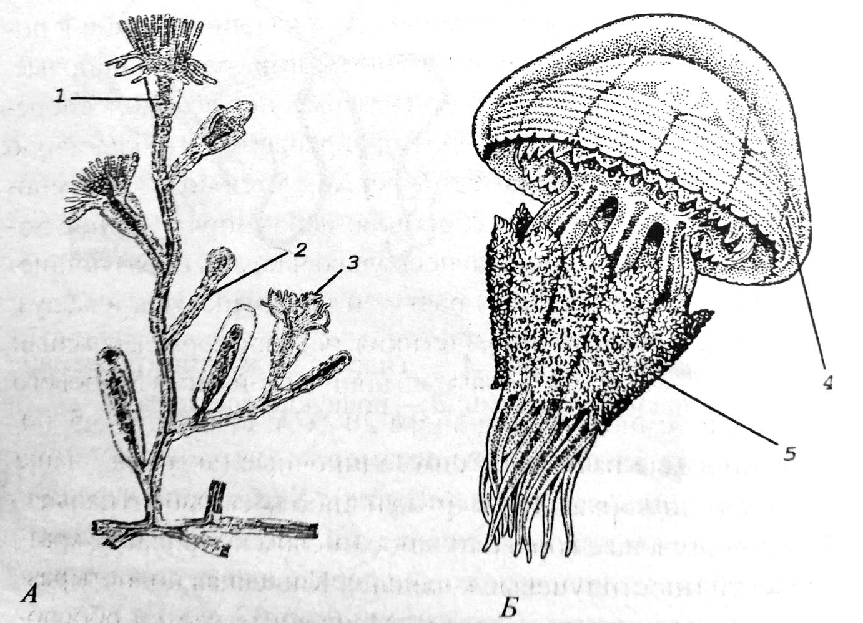 Внешнее строение гидроида и сцифомедузы