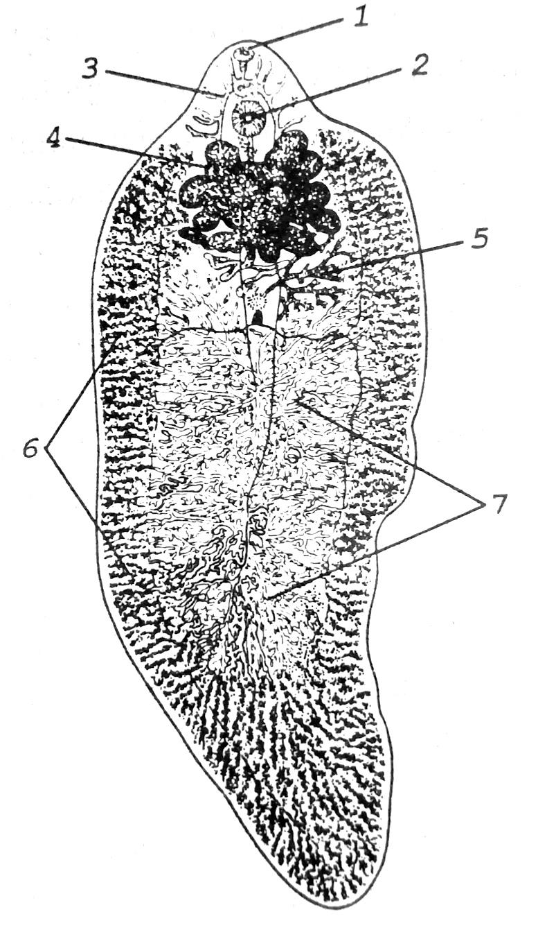 Схема строения печеночного сосальщика