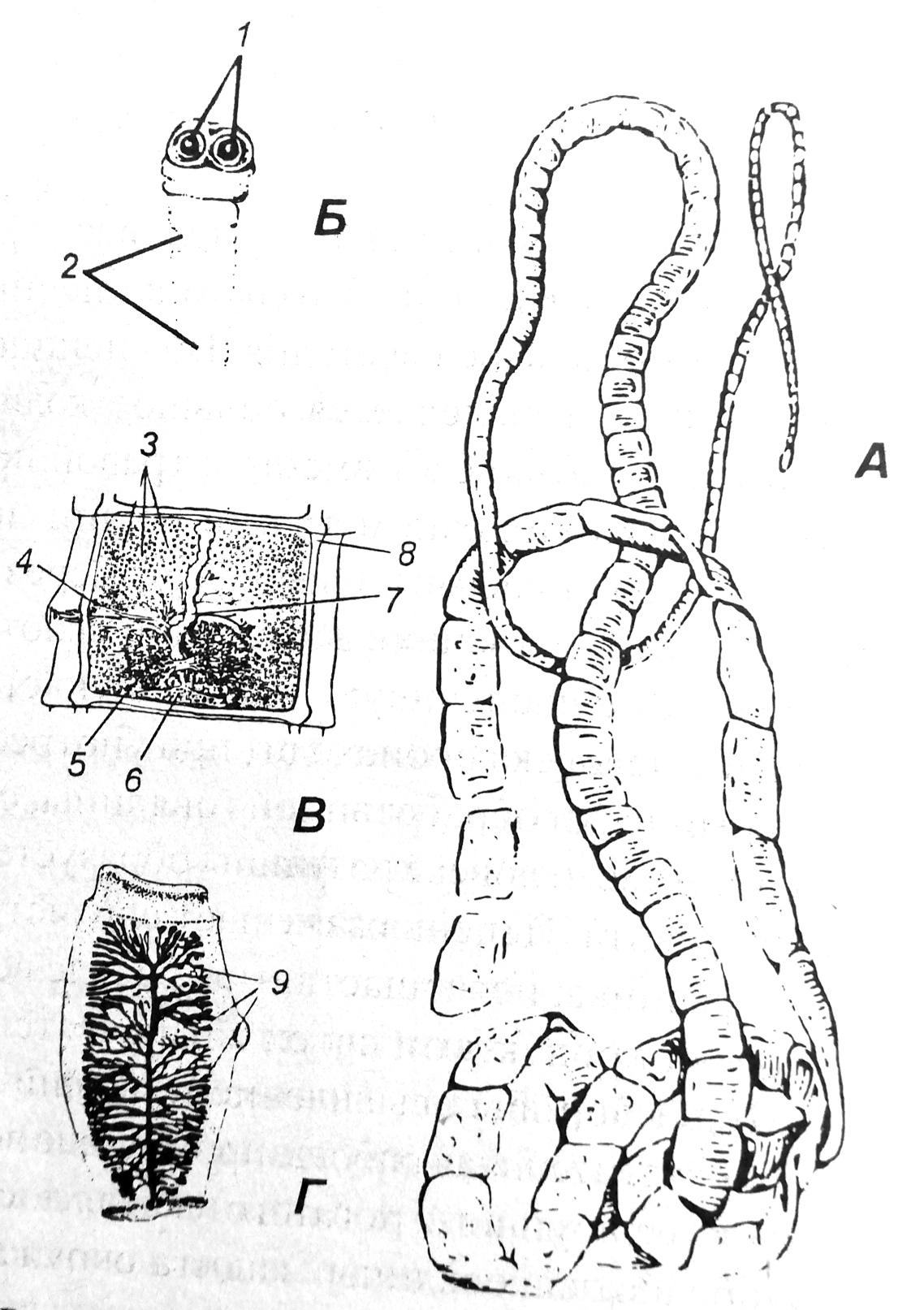 Схема строения бывшего цепня