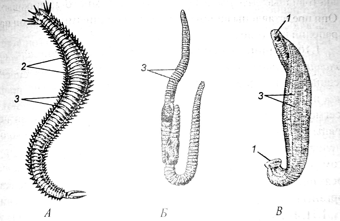 Внешний вид кольчатых червей