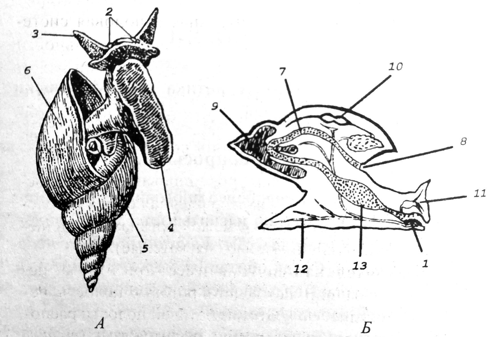 Схема внешнего и внутреннего строения брюхоногого моллюска