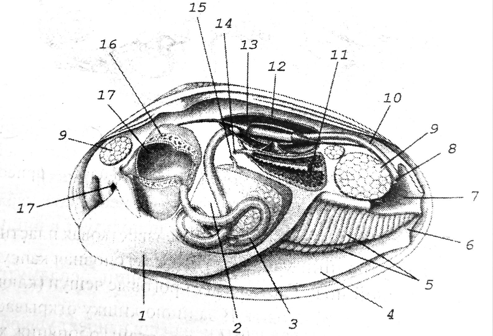 Схема внутреннего строения двустворчатого моллюска