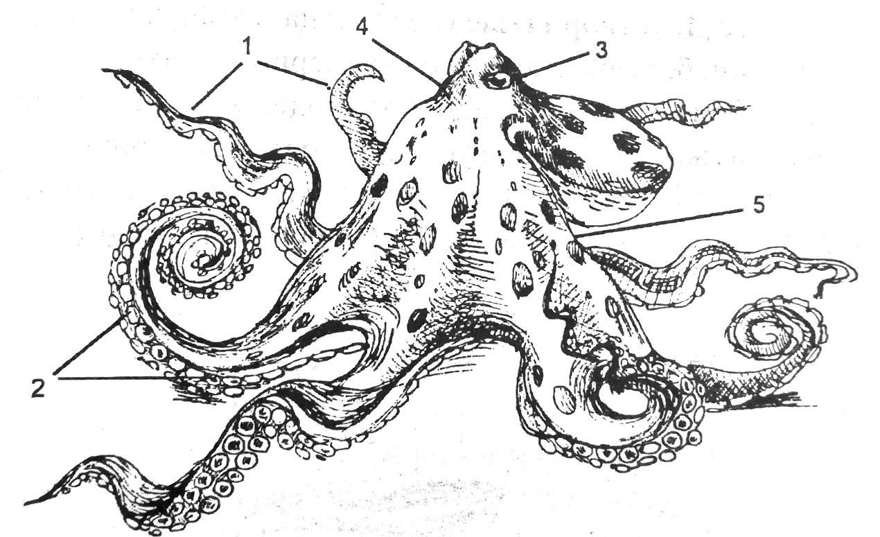 Внешнее строение осьминога
