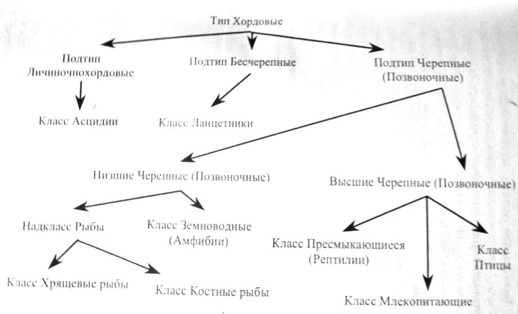 Классификация типа хордовые