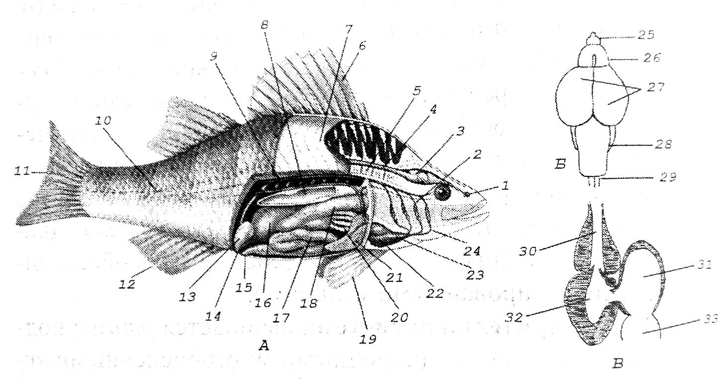 Схема внешнего и внутреннего строения рыбы