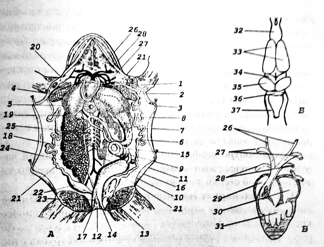 Схема внутреннего строения лягушки