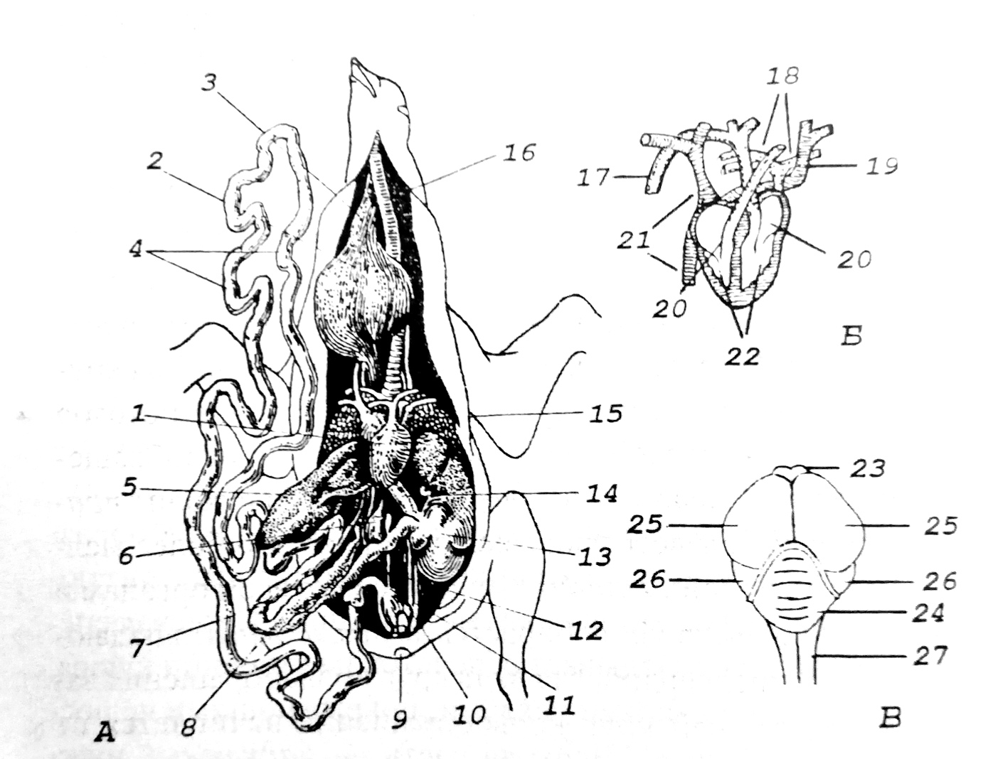 Схема внутреннего строения птицы