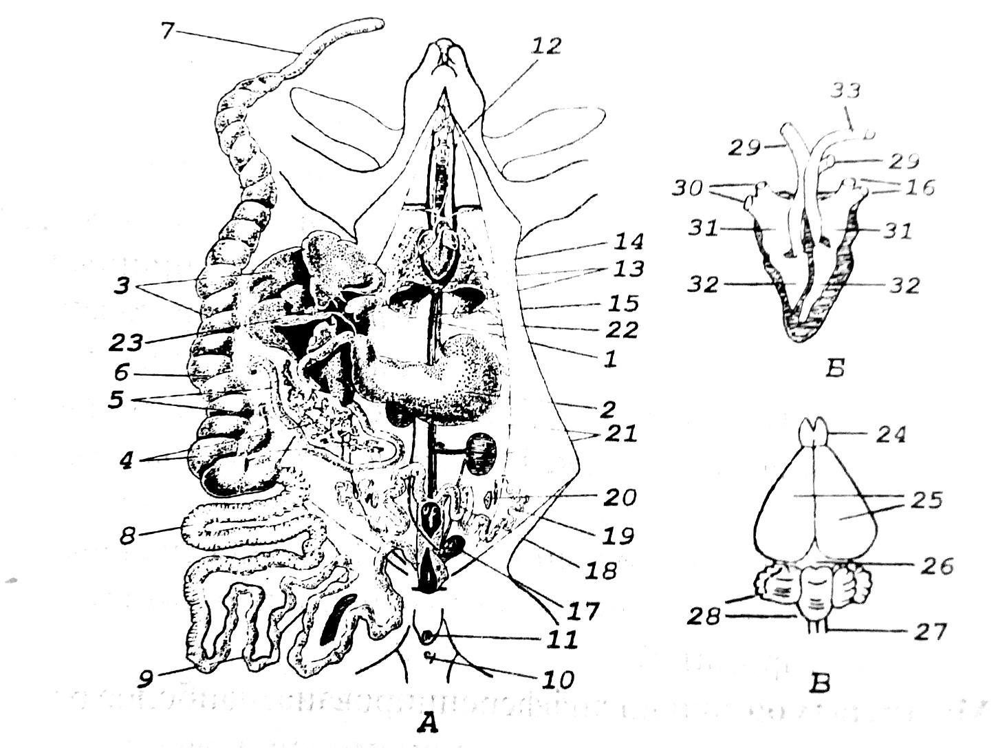 Схема строения млекопитающего