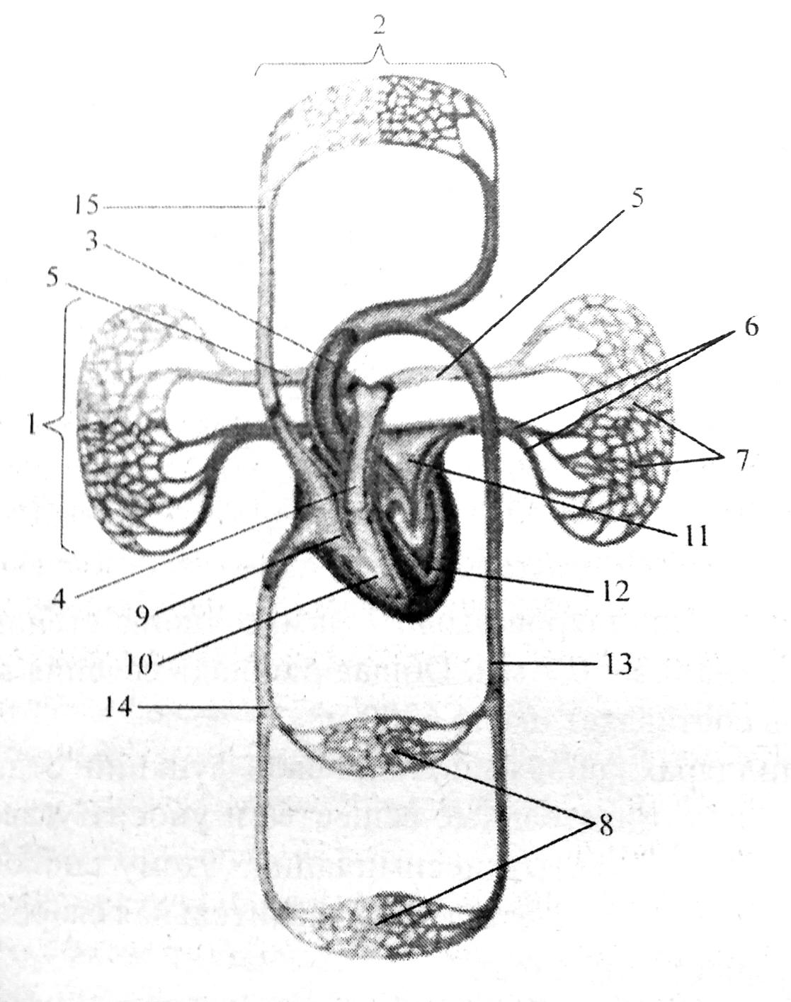 Схема кругов кровообращения