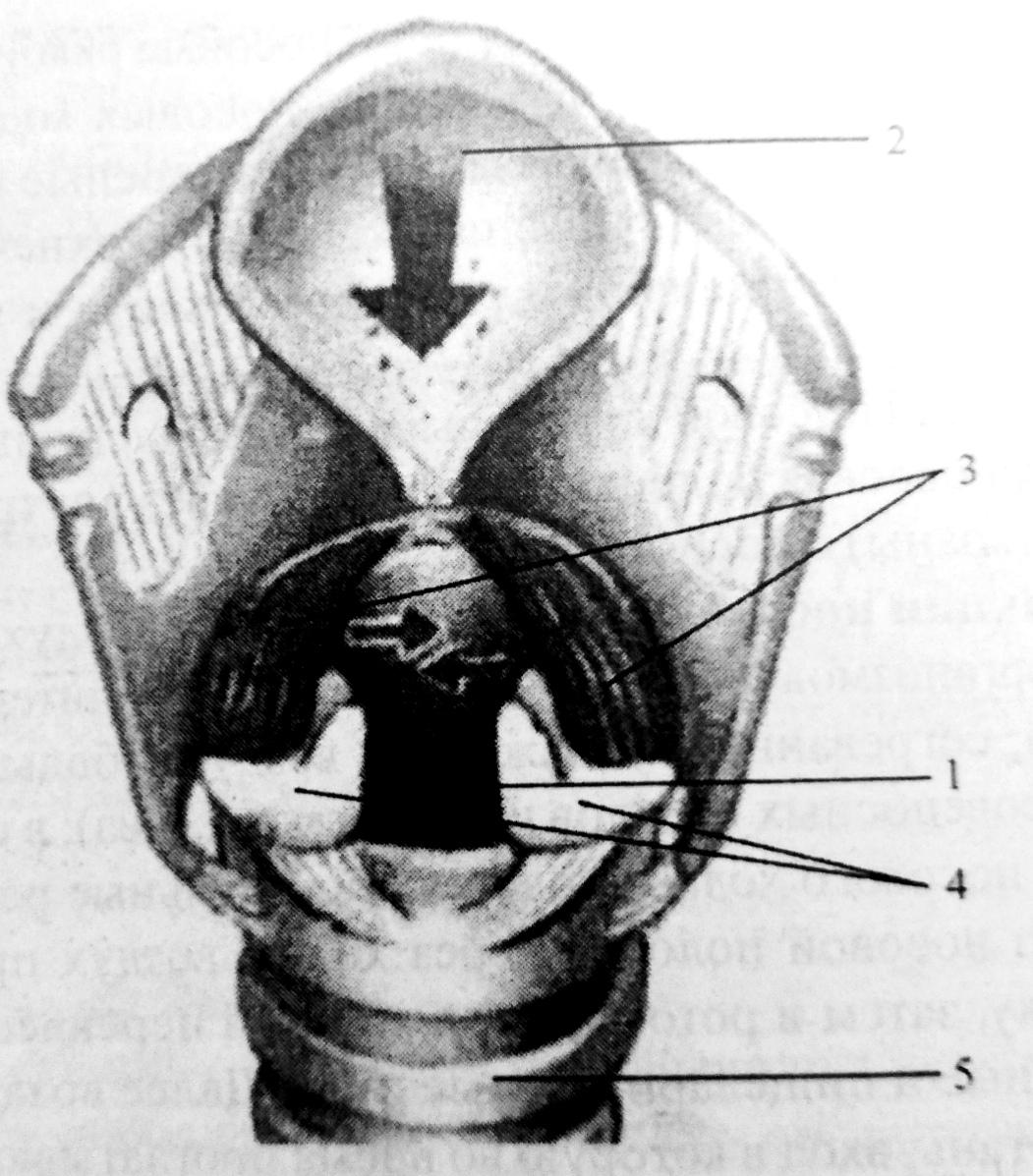 Строение гортани и голосовой аппарат