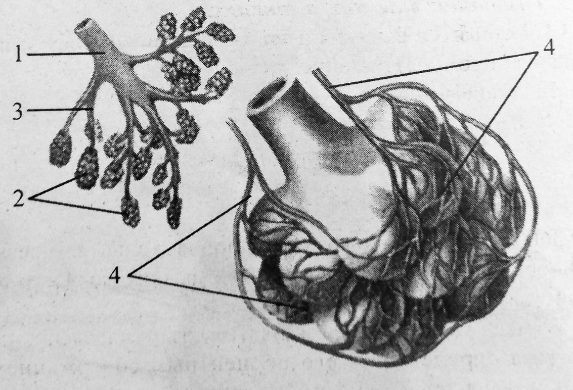 Строение и кровоснабжение альвеол