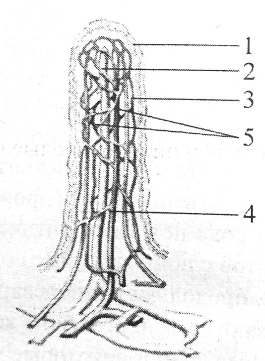 Строение ворсинки слизистой тонкого кишечника