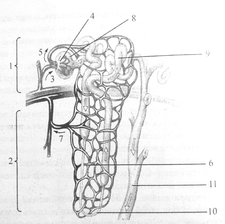 Строение и кровоснабжение нефрона