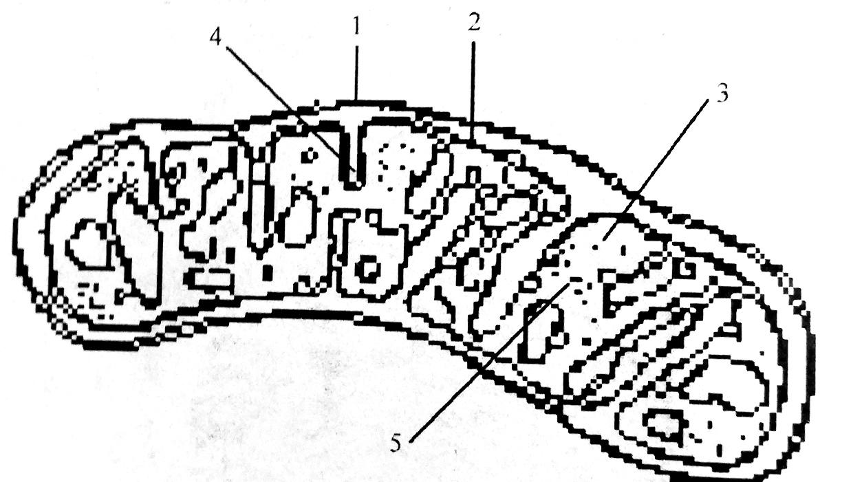 Схема строения митохондрии