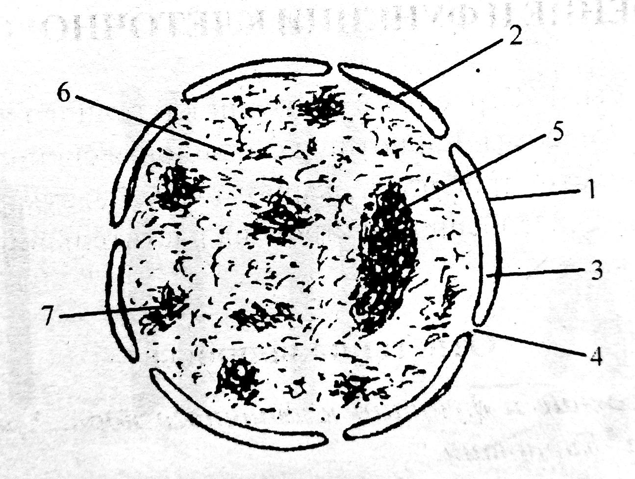 Схема строения интерфазного ядра