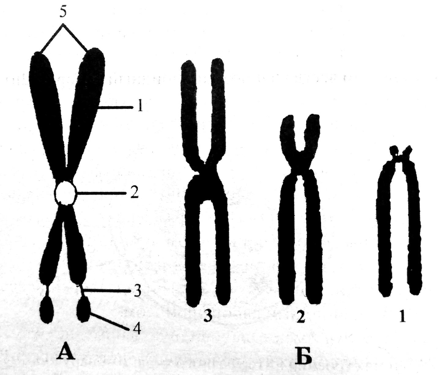 Метафазная хромосома