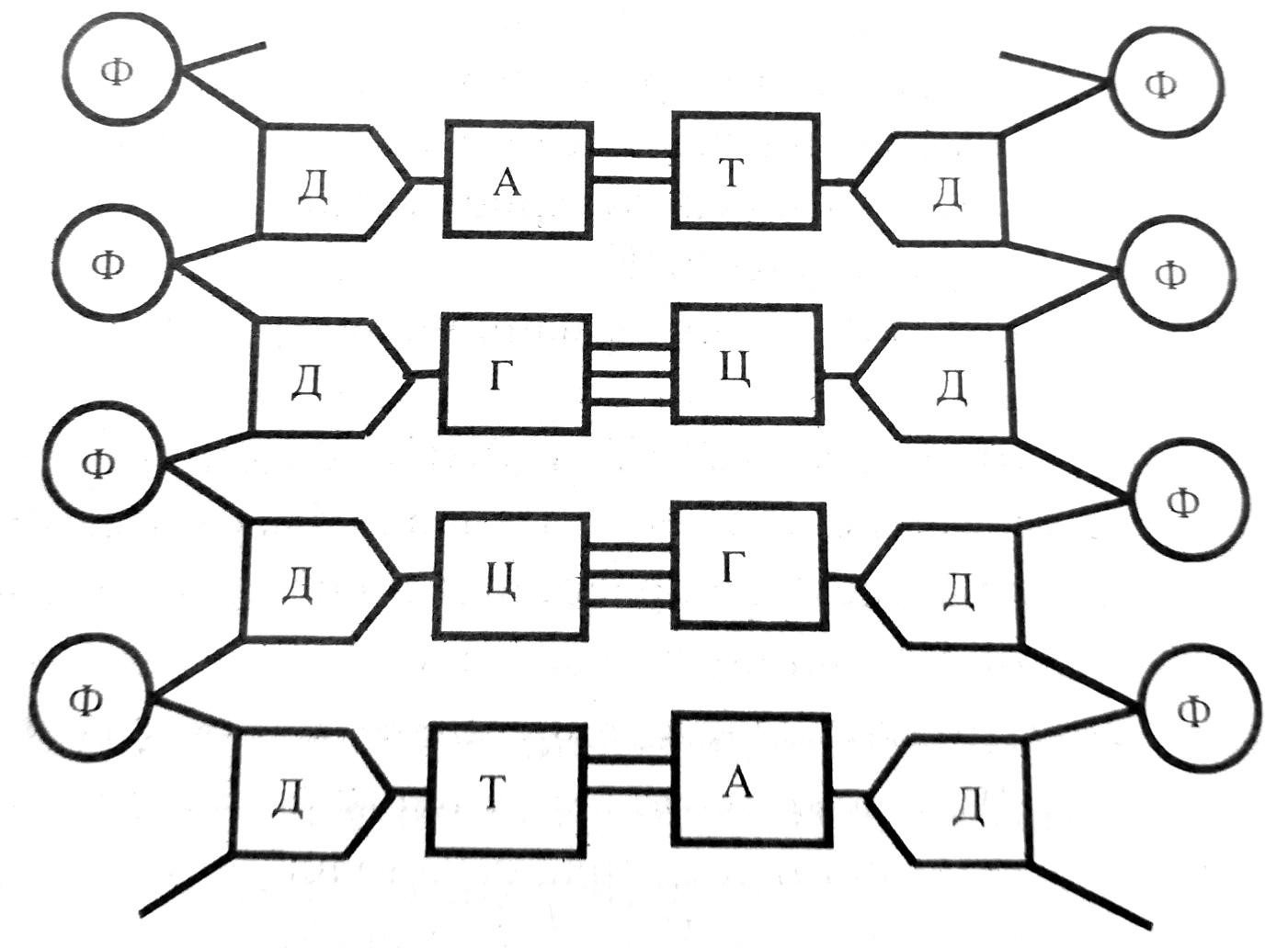 Схема строения молекулы ДНК