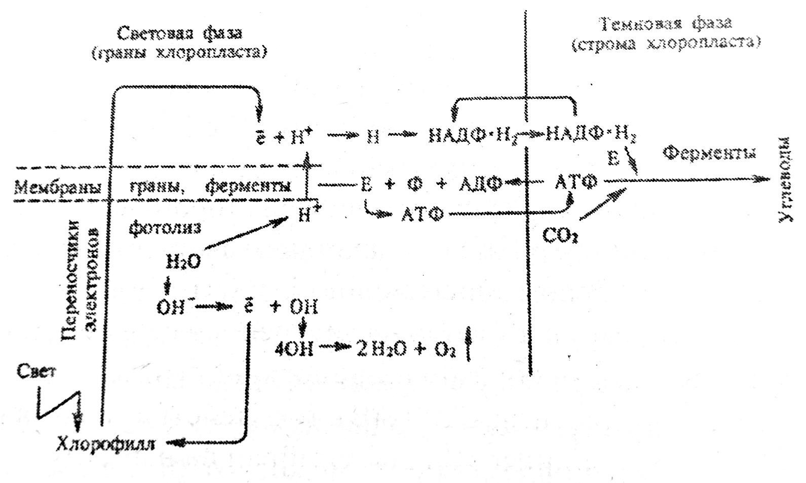 Схема процесса фотосинтеза