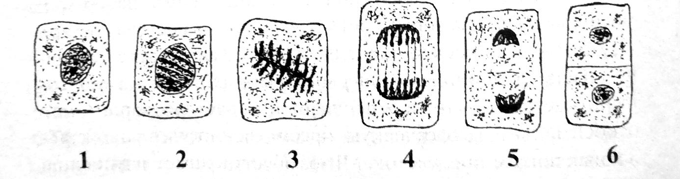 Схема митоза